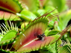 Adult Venus Fly Trap 1