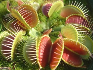 Adult Venus Fly Trap