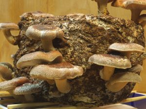 Shiitake Mushroom Growing Kit